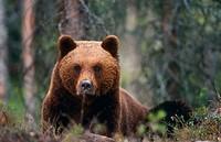 European Brown Bear. (Ursus arctos). Finland.
