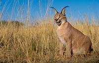 Caracal. (Felis caracal). Captive. Namibia. Gamefarm
