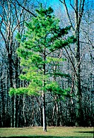 Green conifer in a leafless deciduous forest
