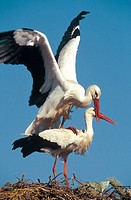 White Stork (Ciconia ciconia). Pair mating on their nest. Spain