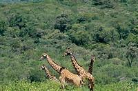 Giraffe (Giraffa camelopardalis). Arusha national park. Tanzania. Africa.