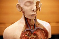 Anatomical model (thumbnail)