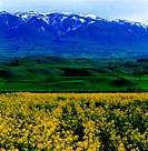 Canola field and snow-covered mountains, Iran