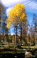 10318855, trees, Dalarna, autumn, broad_leaved trees, Populus tremula, Sweden, Europe, stones, clouds, weather, aspen