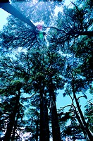 Cedar trees near Ehden, Lebanon (thumbnail)