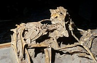 Protoceratops and a velociraptor in Ulan Bator, Mongolia. The velociraptor, a small carnivorous dinosaur, probably fed on the protoceratops, a small h...