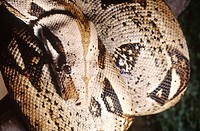 Boa constrictor (Boa c. constrictor), native to Central and South America.