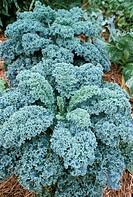 Kale (Brassica oleracea).