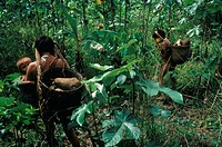 Yanomami Indians carrying cassava in the Amazon Jungle of Brazil.