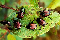 Japanese beetles (Popillia japonica) in Ohio.