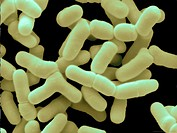 Scanning electron micrograph (SEM) of Bifidobacterium bifidum. Bifidobacterium bifidum is a member of the large family of probiotic (´friendly´) bifid...