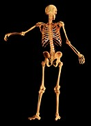 Three-dimensional visualization reconstructed from scanned human data of the male skeletal system. The living skeleton bears the body´s load and enabl...