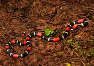 Slender Coral Snake (Micrurus filiformis), venomous and usually nocturnal, Peruvian Amazon.