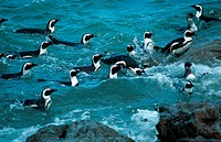 Black-footed or Jackass Penguins (Speniscus demersus) swimming, Stony Point, Bettys Bay, Western Cape, South Africa.