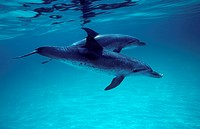 Atlantic spotted dolphin (Stenella frontalis) on the Grand Bahamas Bank.