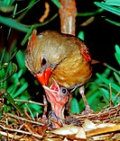 Female cardinal (Cardinalis cardinalis) feeding a nestling in northern Florida.