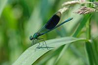 Banded Demoiselle (Calopteryx splendens) male perched on phragmites.