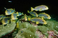 Plectorhinchus vittatus. Oriental sweetlips. Thailand. Andamans Sea. Indian Ocean