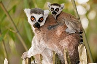 Ring-tailed Lemur (Lemur catta), captive adult with young. The Netherlands