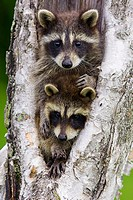 Raccoon (Procyon lotor) youngs. Minnesota, USA