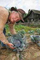 Landmark Park, Living History Farmstead c.1901, farmer, garden, harvesting cabbage. Dothan, Wiregrass Region. Alabama. USA.