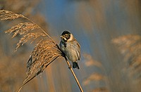 Reed Bunting male in winter plumage perched on phragmites.