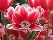Tulip (Tulipa ´Toyota´) flowers.