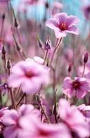 American cranesbill flowers (Geranium psilostemon).