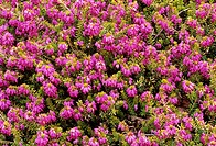 Heather (Erica carnea ´King George´) flowers.