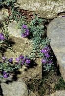 Alpine toadflax flowers (Linaria alpina).