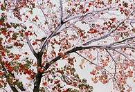 Autumn maple tree. Snow-covered autumnal red maple tree, Acer rubrum. Maple trees are common across the Northern Hemisphere. They are popular ornament...