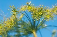 Dill (Anethum graveolens) flowers.