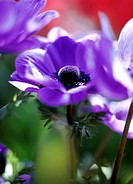Florist´s anemone flowers (Anemone coronaria ´Lord Lieutenant´). Photographed in spring, in the UK.