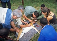 Oribi research. Scientists fitting a radio collar to a captured oribi (Ourebia ourebi) in an endangered species monitoring project.
