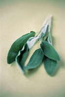 Sage (Salvia sp.). This plant is a member of the mint (Lamiaceae) family and is used as a flavouring in cooking.