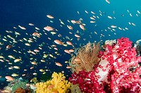 A reef scenic with soft corals crinoids gargonians and a school of yellow and orange-pink Anthias, Pseudanthias sp., Raja Ampat, Indonesia, Indo-Pacif...
