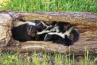Striped Skunk (Mephitis mephitis), mother & juveniles