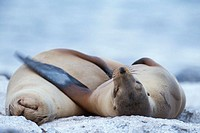 Two Sea-Lions sleeping on the beach, Galapagos. Ecuador