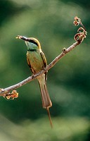 Green Bee-eater. Bangalore, India