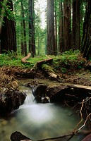 Stream flows through forest, Humboldt Redwoods State Park. Humboldt County, California, USA