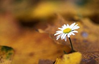 daisy between autumn foliage