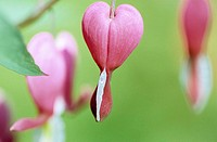 Bleeding heart hanging from tree, close up