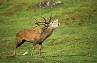 Red deer (thumbnail)