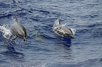 Hawaii, Pacific spotted dolphins (stenella attenuata) swimming at the surface