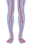 Illustration of the major arteries of the lower limbs, schematically shown in a pair of legs and feet.
