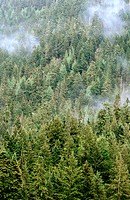 Evergreen trees on a mountain and mist. USA