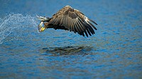 White-tailed eagle with fish catch