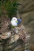 Nesting kittiwake on a cliff