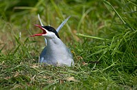 Arctic tern calling from a nest