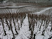 agriculture, inclination, shoots, slope, snow, Switzerland, Europe, vineyards, wine, Winter,